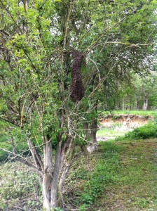 A swarm in willington woods (2)