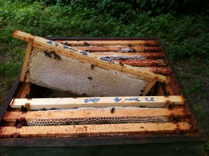 Capped honey ready for extraction (2)